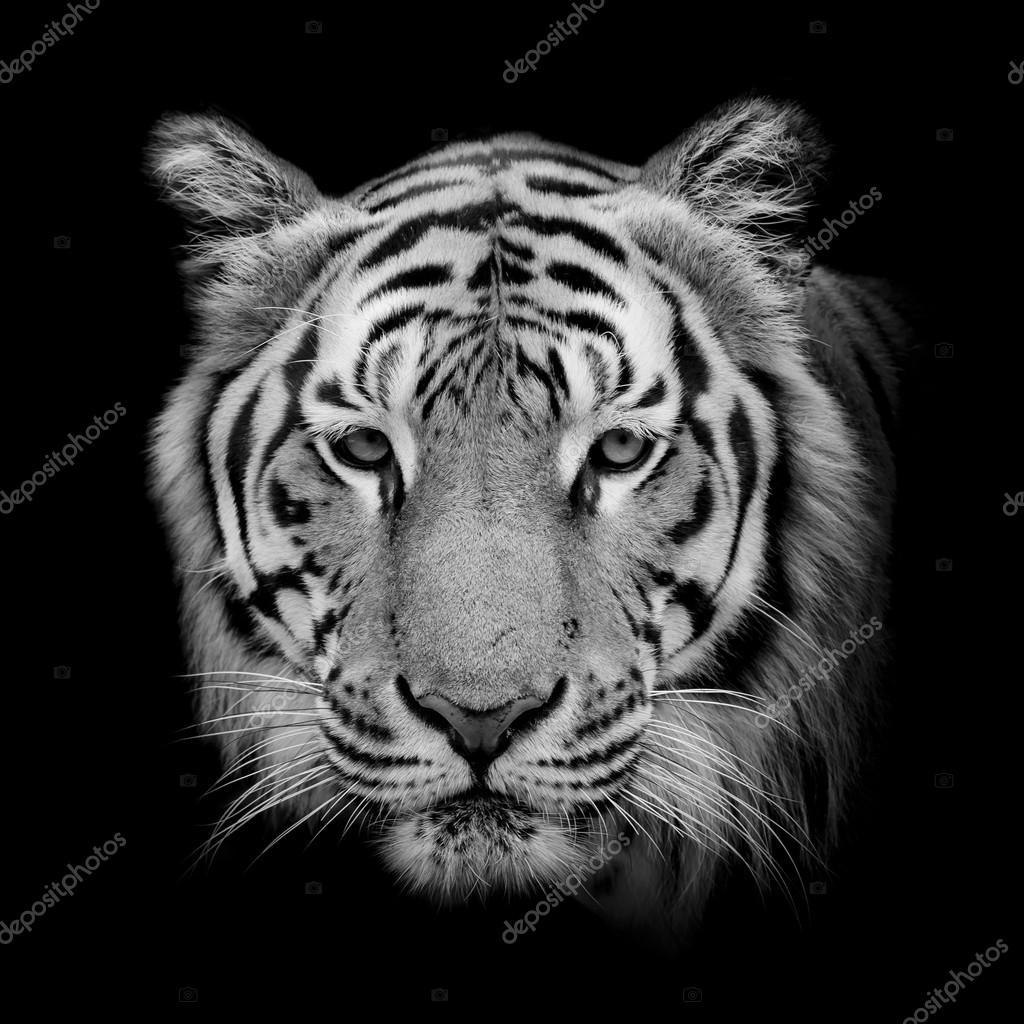 zwart wit beautiful tijger ge soleerd op zwarte achtergrond stockfoto art9858 110306260. Black Bedroom Furniture Sets. Home Design Ideas