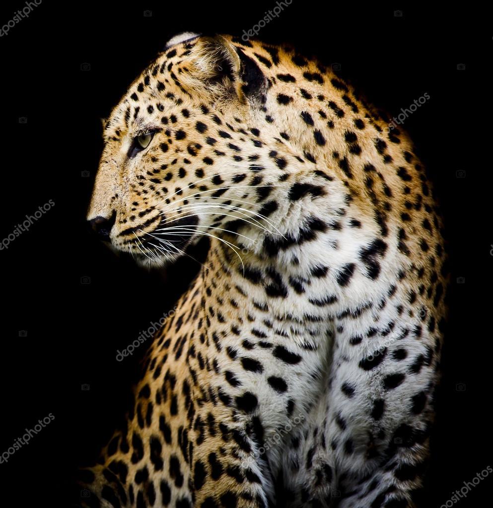 Lado do leopardo fotografias de stock art9858 62865219 - Chat type leopard ...