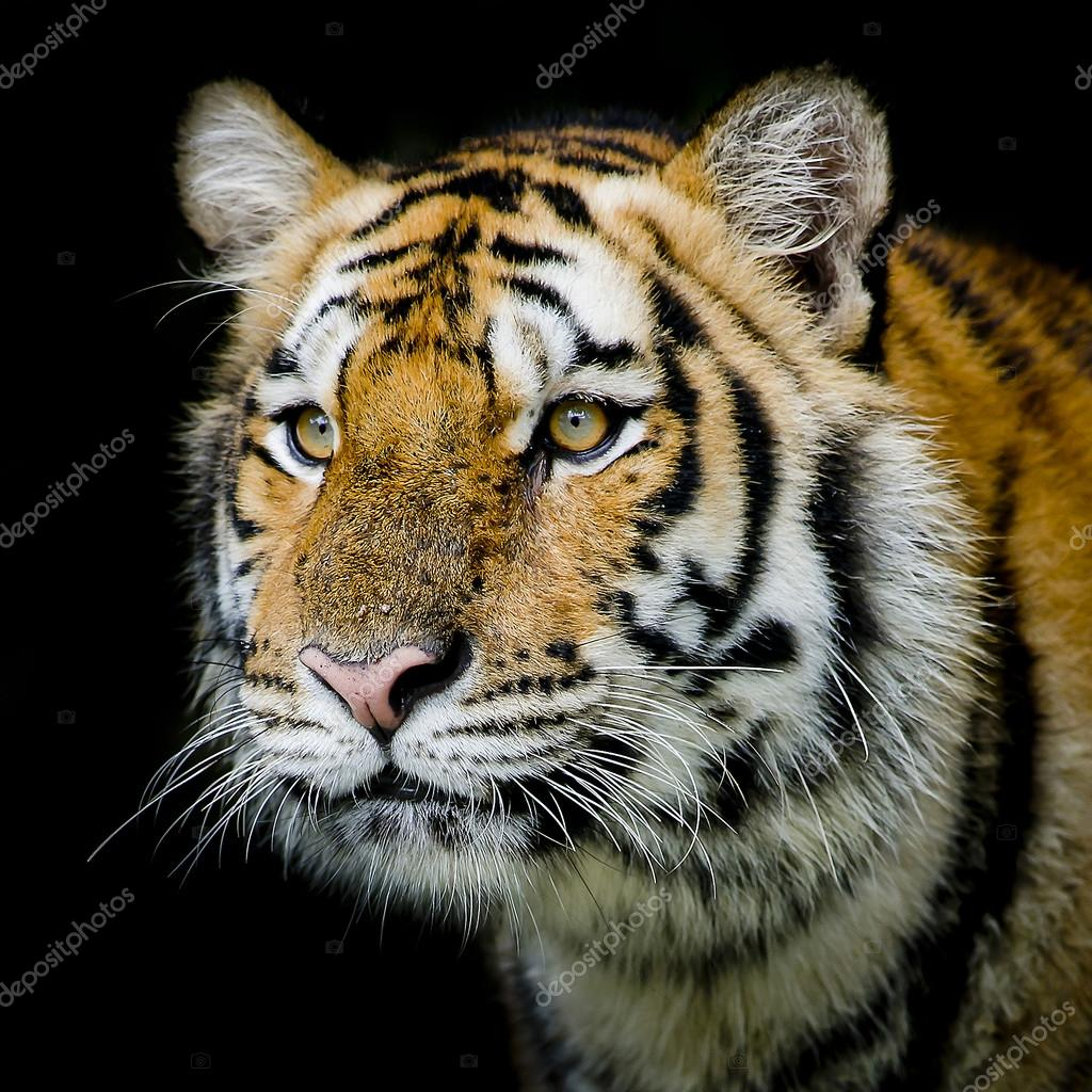 tiger background — stock photo © art9858 #65034431