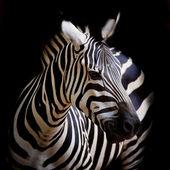 Headshot Zebra Burchellova