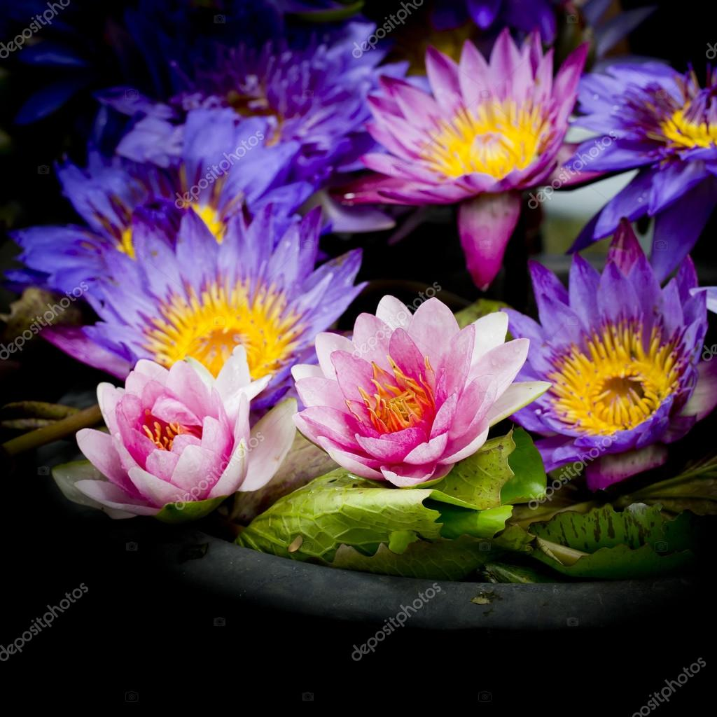 Lotus multicolored many colorful lotus flowers in earthen basin lotus multicolored many colorful lotus flowers in earthen basin stock photo mightylinksfo