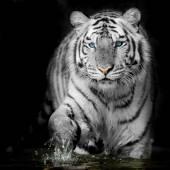 černé  bílý tygr