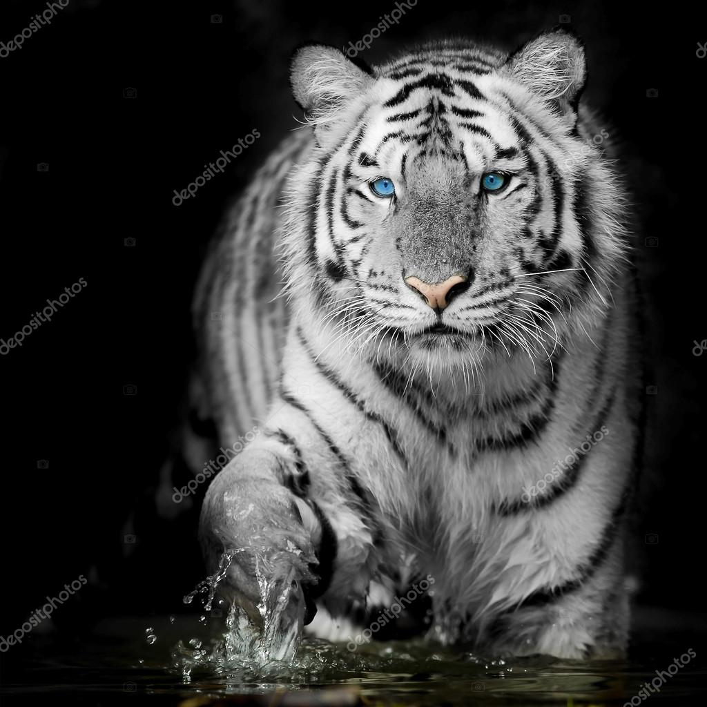 Tiger: Stock Photo © Art9858 #66245159