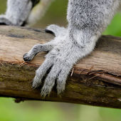 Ringschwanzmaki (Lemur catta))