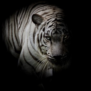 White tiger isolated on black background