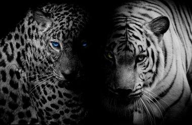Black & White Leopard with blue eyes & Tiger isolate black backg