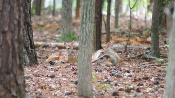 Zweibettzimmer hellblond Whitetail Deer