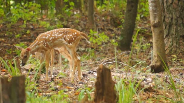 hellblond Whitetail deer