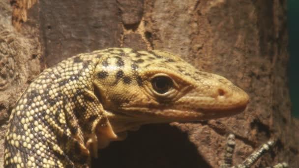 žlutá monitor ještěrka