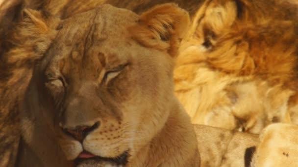 Afrikai oroszlán és a nőstény oroszlán