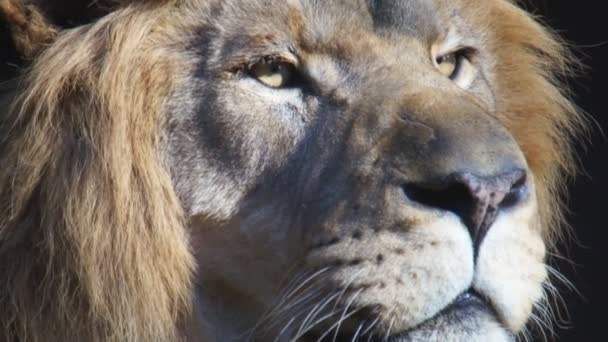 Africký lev a lvice