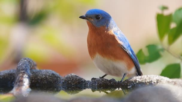 Kelet-Bluebird férfi ivóvíz