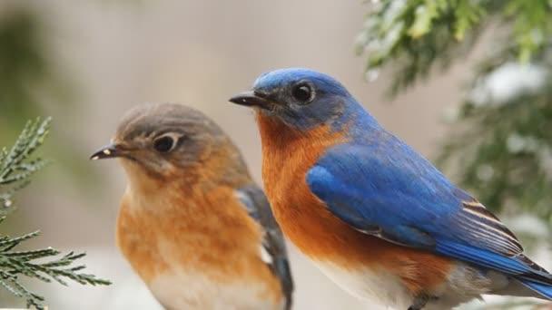 Východní Bluebirds žížaly
