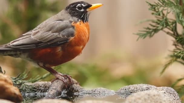American Robin drinking water