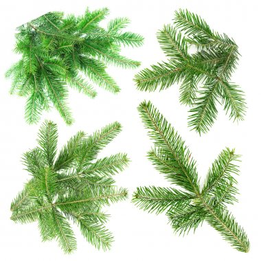 Green fir branches for decoration