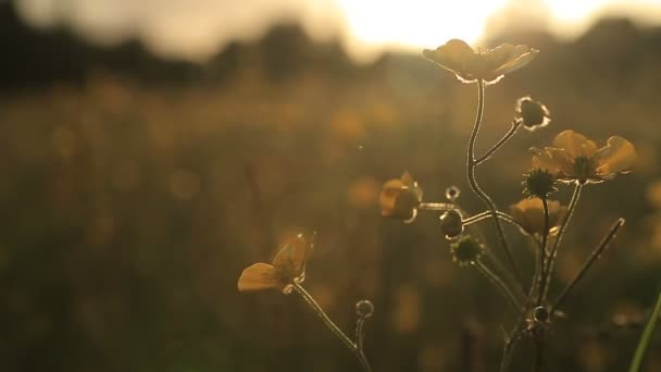 Buttercups in a meadow swaying in a gentle breeze at sunset