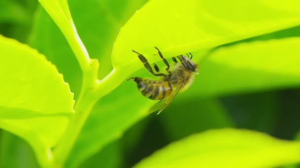 Bee climbing down from a leaf in slow motion
