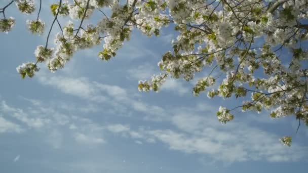 Blossoms blowing from a tree in the breeze