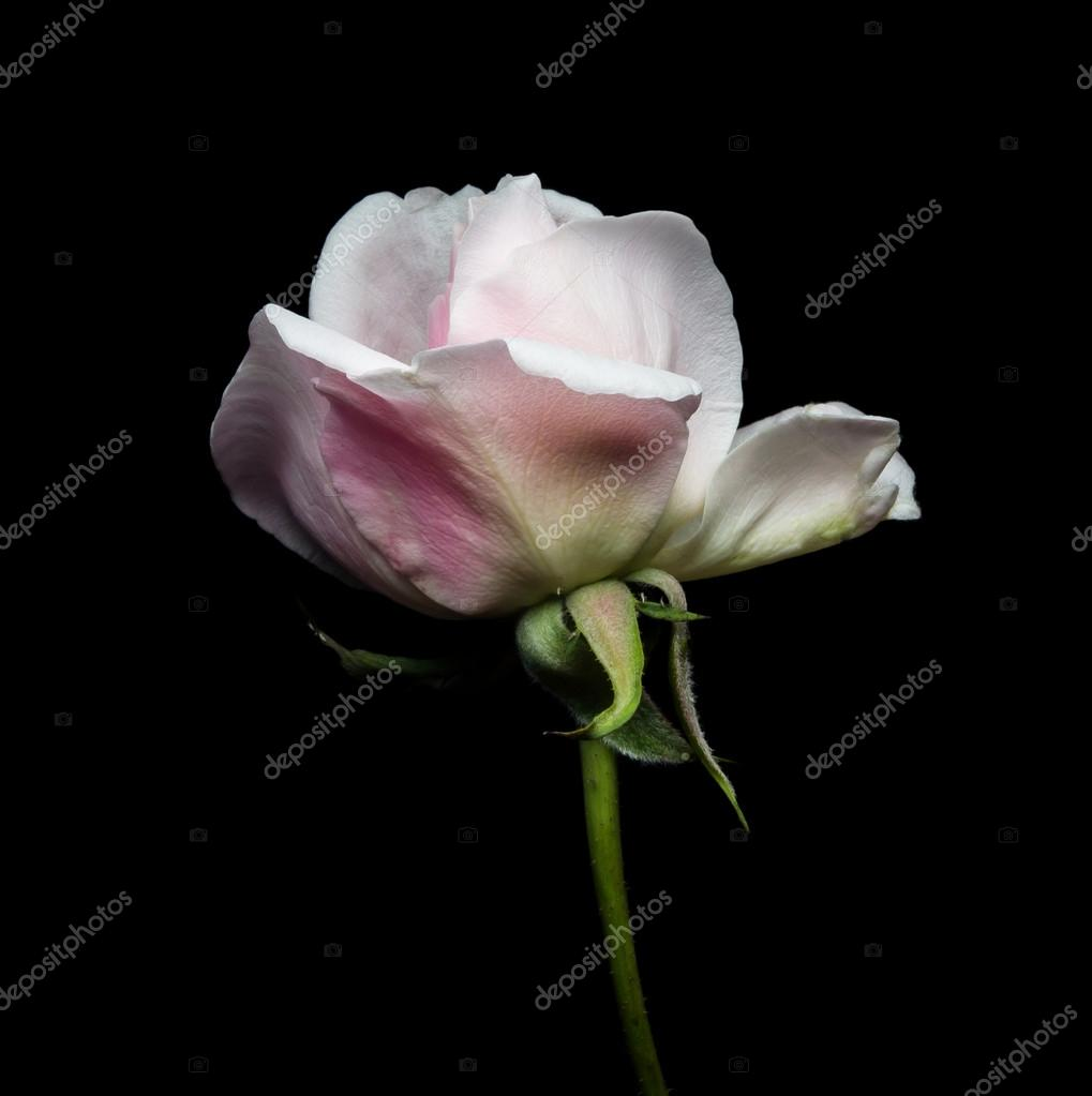 Chiuda In Su Di Una Rosa Bianca Su Sfondo Nero Foto Stock