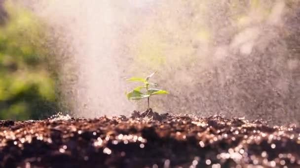 Mladá rostlina roste na slunci. Nové malé klíčky kávovníku plantáže pole s deštěm nebo zalévání pozadí koncept. Přiblížení fotoaparátu.