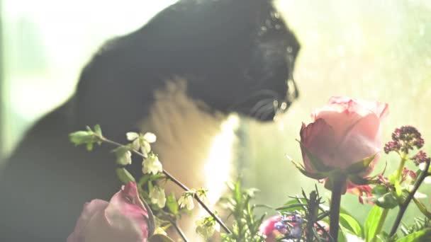 Roztomilá černobílá kočka po okně, růže v popředí. Měkké zasněné zaměření.