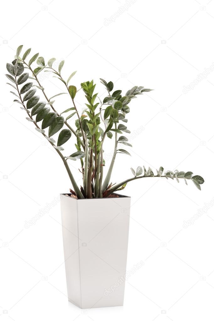 Zz Roślin W Białe Doniczki Ceramiczne Zdjęcie Stockowe