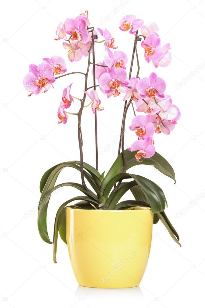 Orchid flowers in a yellow flowerpot
