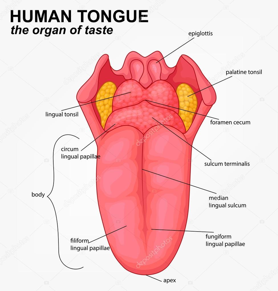 Dibujos animados de estructura de la lengua humana — Vector de stock ...
