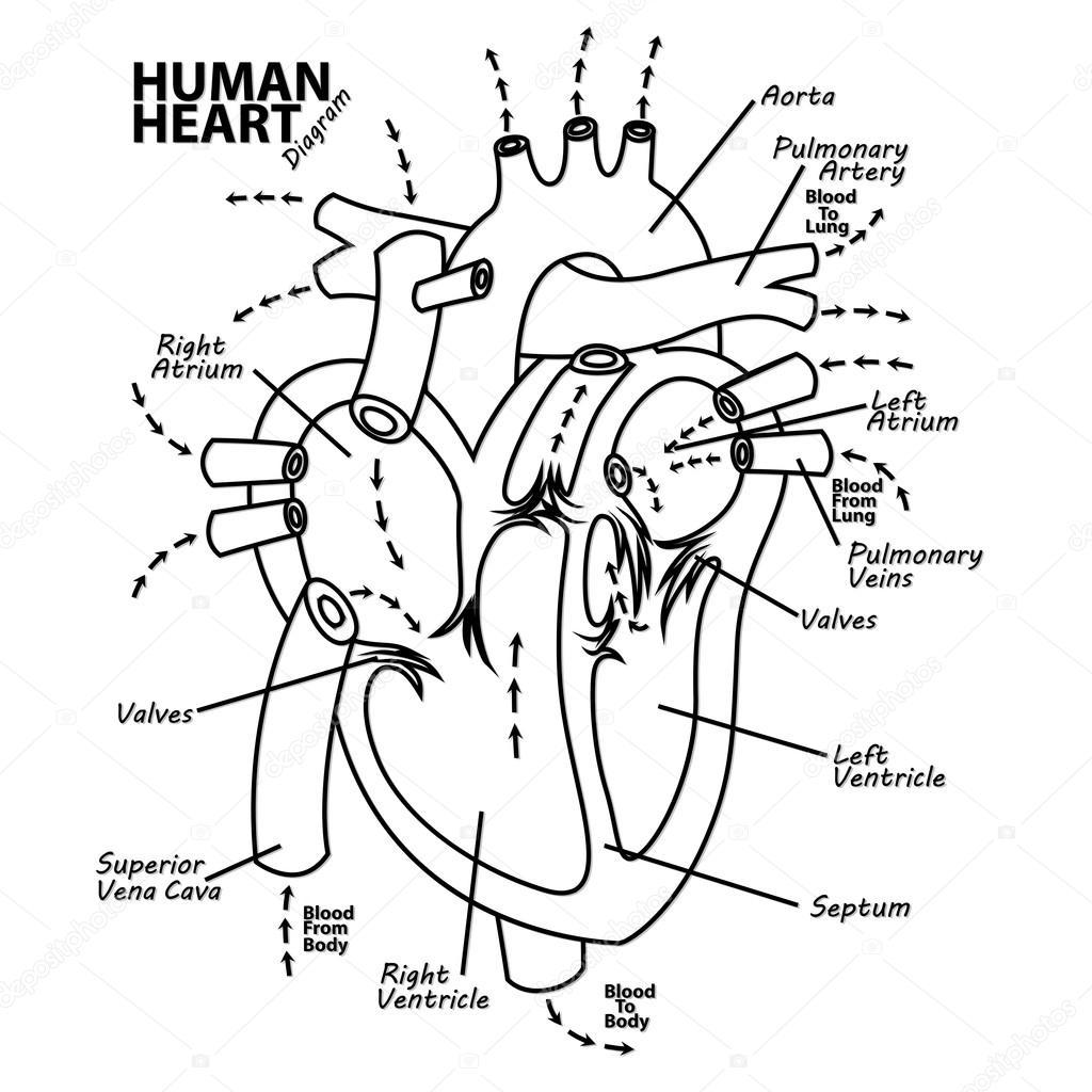 Anatomía de diagrama del corazón humano — Vector de stock ...