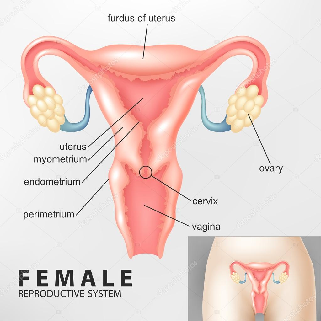Diagram Of Female Reproductive System Stock Vector Fightingfear