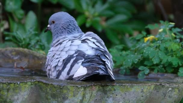 Wilde Tauben, auch Stadttauben, Stadttauben oder Straßentauben genannt, sind Tauben, die von den Haustauben abstammen, die in die Wildnis zurückgekehrt sind.