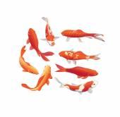 Photo Koi fishes vector design elements