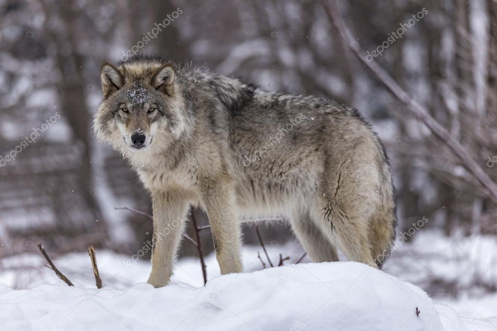 A lone Timber wolf