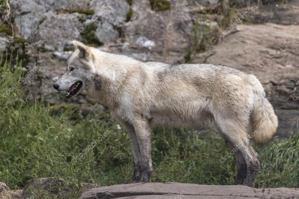 Lone Arctic wolf during fall