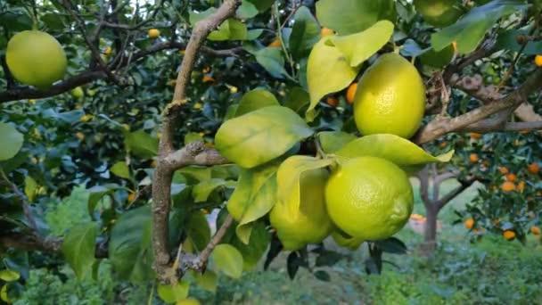 grüne Zitronen aus nächster Nähe auf den Baum schießen.