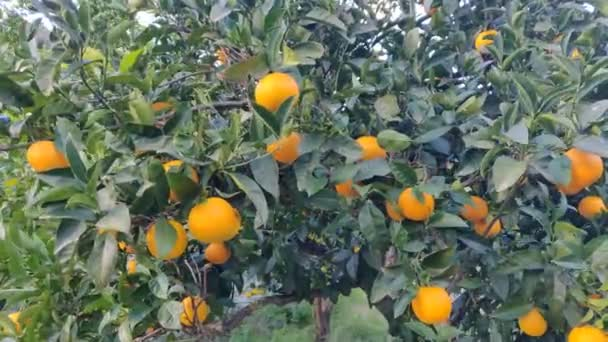 Oranges on the tree with leaves close up. Ripe orange fruit hanging on a tree. Ripe and juicy orange in citrus fruit plantation. Wind is waving leaves and fruits. Orangery. Video 4k high quality