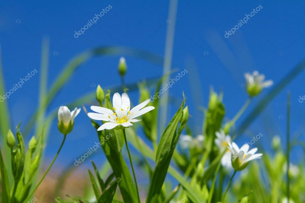 Spring chickweed flowers