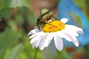 Cockchafer beetle on the camomile