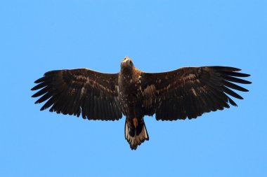 Soaring eagle on a background of clear sky