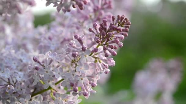 fialové květy je velmi blízko