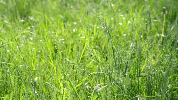 Grünes Graskraut hautnah im Wind