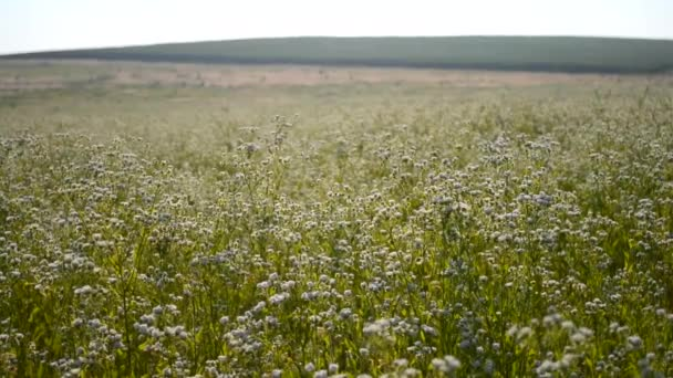 field of small white daisies in the morning