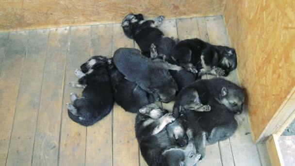 Ten cute beautiful German Shepherd puppies sleep on