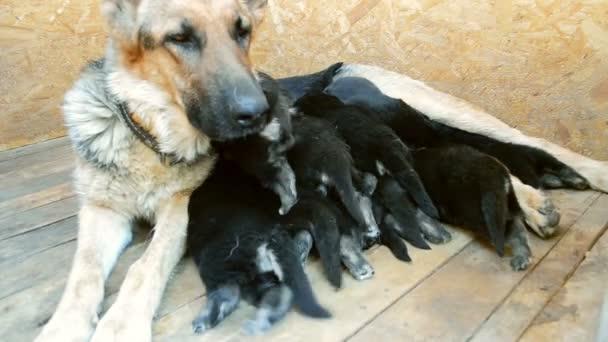 Large adult dog Shepherd feeds its puppies