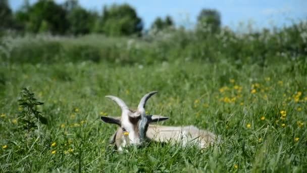 Vtipná šedá koza ležící a pasoucí se tráva v zeleném trávníku v létě