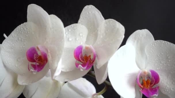 Orchidaceae, bílá orchidej v černém pozadí. Padající kapky vody na květiny.