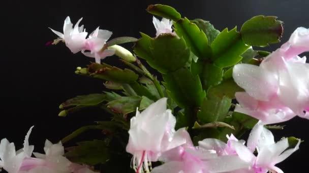 Schlumbergera truncata. Zygocactus. Filming on a black background.