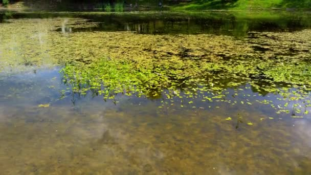 Vodní leknín na hladině rybníka.