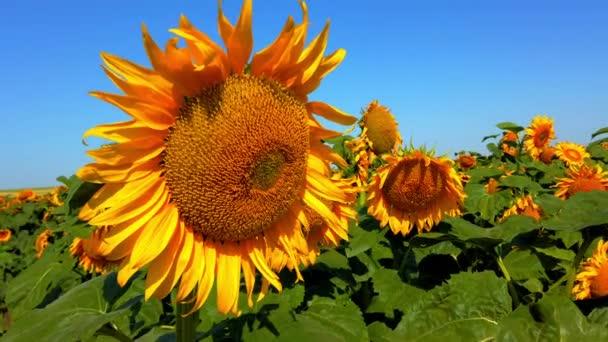 Zemědělské pole slunečnic. Natáčení v létě na venkově.