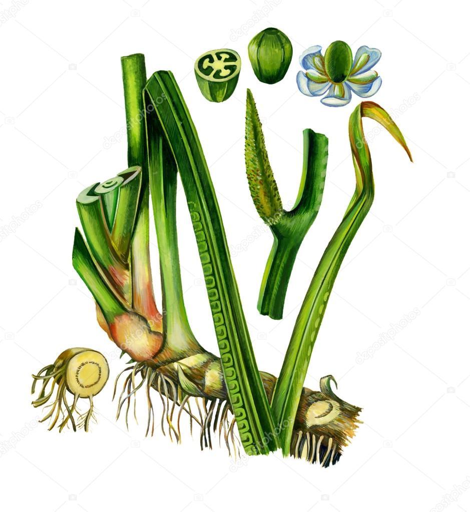 Flores, frutos, hojas y raíz de Acorus calamus. Botánica — Fotos de ...